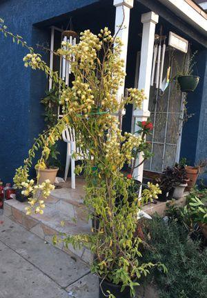 Uña de gato plant lista para dar fruta for Sale in Lynwood, CA