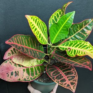 Croton Petra in 6.5 inch pot for Sale in Gambrills, MD