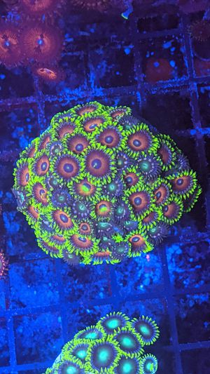 Zoanthid Colony for Sale in Covina, CA