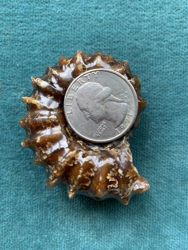Real Ammonite Gemstone Fossil