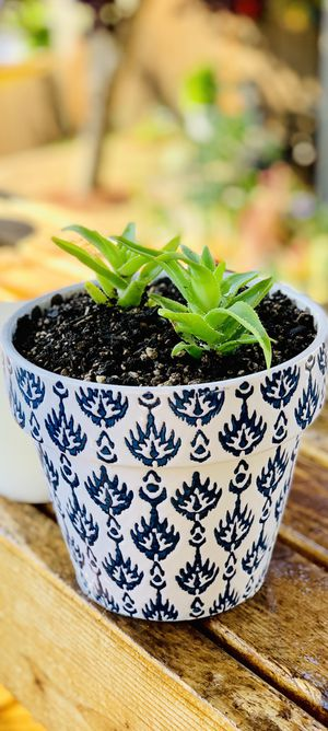 Live indoor Climbing Aloe succulent plant in a textured ceramic planter flower pot—firm price for Sale in Seattle, WA
