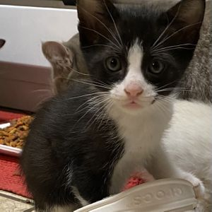 Free Kittens (Cypress Area) for Sale in Houston, TX
