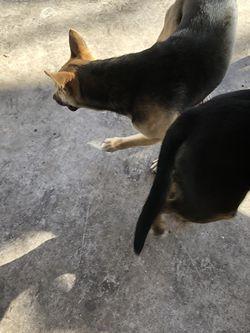 Perros Pastor Alemán for Sale in Dallas,  TX