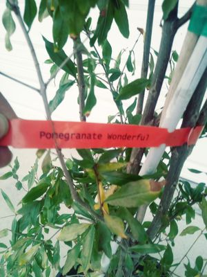 Pomegranate 15 gallon about 8ft tall for Sale in Lake Elsinore, CA