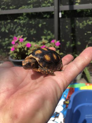 Redfoot tortoises available for Sale in St. Cloud, FL