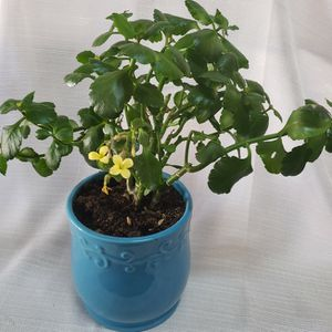 Yellow Flowered Kalanchoe In A Blue Pot for Sale in Avondale, AZ