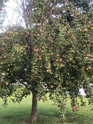 Fresh Pears 🍐 for Sale in Atlanta, GA