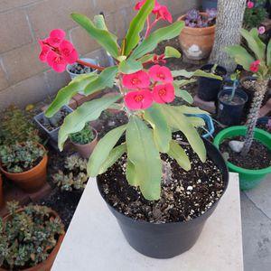 Corona De Cristo, Red Flowers for Sale in Downey, CA