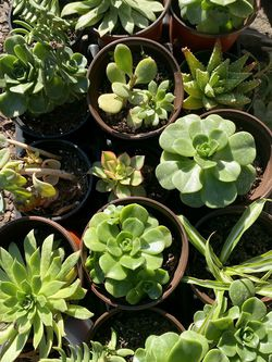 Succulents for Sale in Santa Clara,  CA