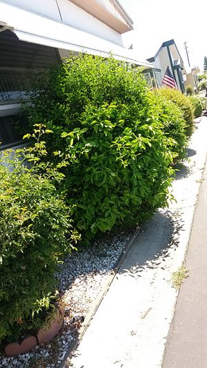 Free fruit trees and rose bushes for Sale in Canoga Park, CA