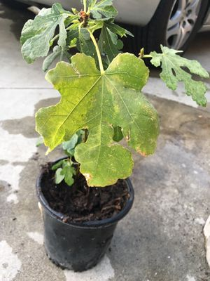 Higo( fig plant) for Sale in Avocado Heights, CA