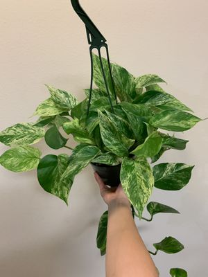 "Marble queen hanging plant 6"" pot for Sale in Santa Ana, CA"