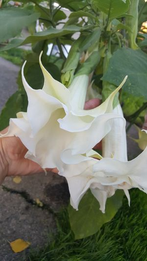 "Angel horn ""Cream Cycle "" Beautiful plant! for Sale in Federal Way, WA"