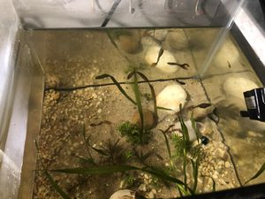 10, gallon grass tank and guppy for Sale in Brooklyn, NY