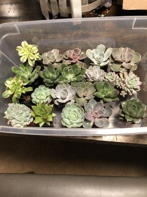 Succulent plants for Sale in Tacoma, WA
