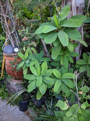 Corona de Cristo Planta / Crown of Thorns Plant Succulent Cactus for Sale in Riverside, CA