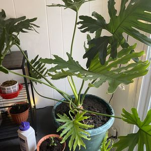 Lacy Tree Philodendron for Sale in Norfolk, VA