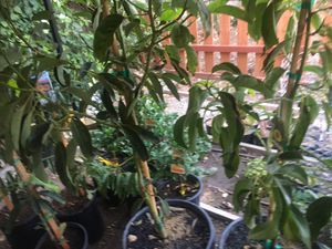 Avocado hass 80$ 15 gallons. Tangelo minneola 90$ for Sale in Riverside, CA