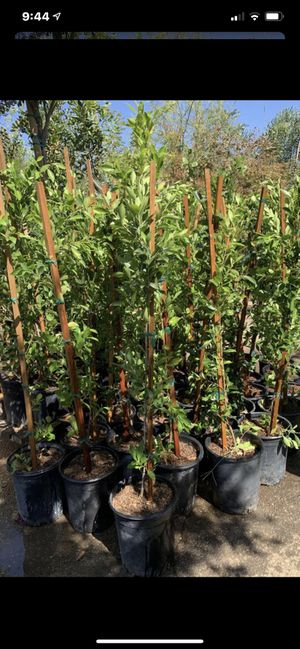 Ficus tree 5gal size (10 plants for $125) hedge and privacy for Sale in Highland, CA