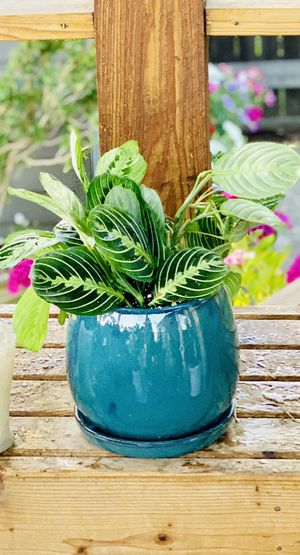Live indoor Lemon Lime Prayer house plant (Maranta Marisela) in a ceramic planter flower pot with attached base—firm price for Sale in Seattle, WA