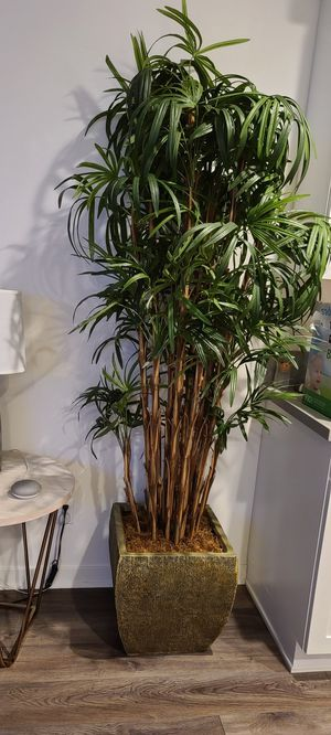 Honey Lady Palm for Sale in Los Angeles, CA