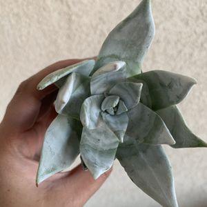 Succulent for Sale in Bonita, CA