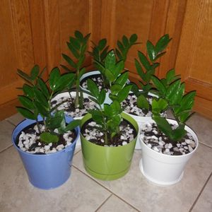 ZZ House plants$12-$14 Each pot for Sale in St. Louis, MO