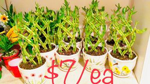 Braided lucky bamboo live plant ceramic pot $7/each for Sale in Westminster, CA