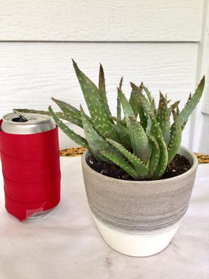 Real Indoor Houseplant - Aloe Crosby's Prolific Succulent Plants in Ceramic Planter Pot for Sale in Auburn, WA
