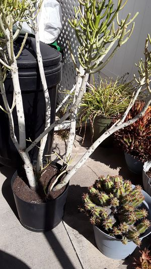 STICK TREE SUCCULENT for Sale in San Dimas, CA