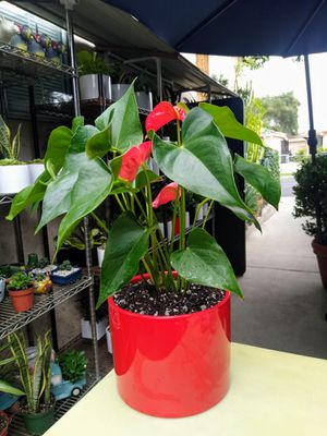 ANTHURIUM INDOOR PLANT for Sale in Paramount, CA