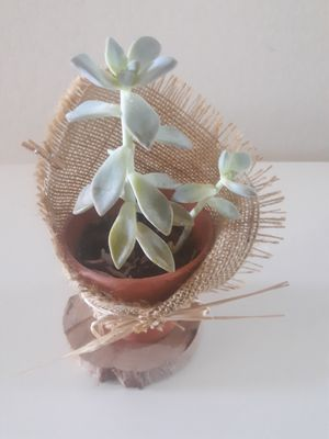 Succulent terracotta pot. Rooted for Sale in Reedley, CA