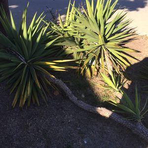 Tree for Sale in Gardena, CA