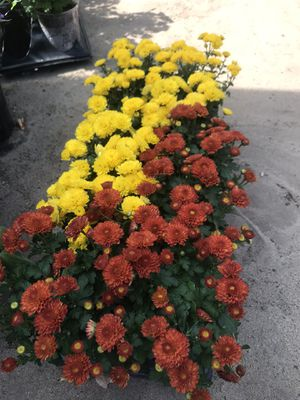 Beautiful perennial Mums potted flowers in orange/brown, purple, white and bright yellow colors for Sale in Denver, CO