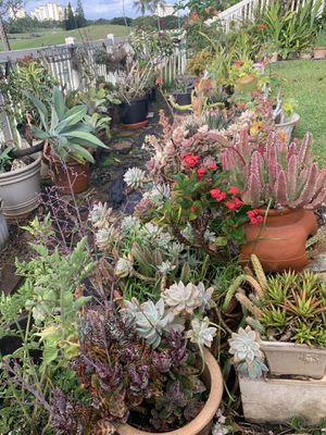 Plant Clearance! Succulents, Desert Rose, Air plants, Cactus, palms, and much more! for Sale in Kapolei, HI