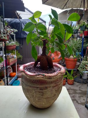 FICUS BONSAI TREE for Sale in Paramount, CA
