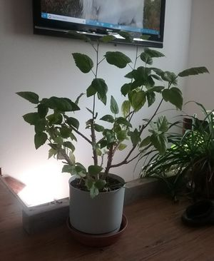 Healthy Lemon Tree for Sale in Puyallup, WA