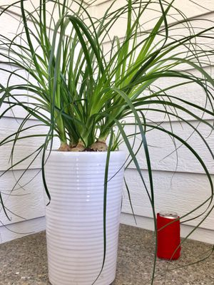 Real Indoor Houseplant - Ponytail Palm Plants in Ceramic Planter Pot for Sale in Auburn, WA