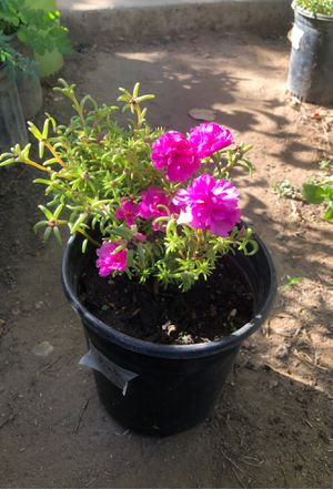 Sunshine flowers for Sale in Fresno, CA