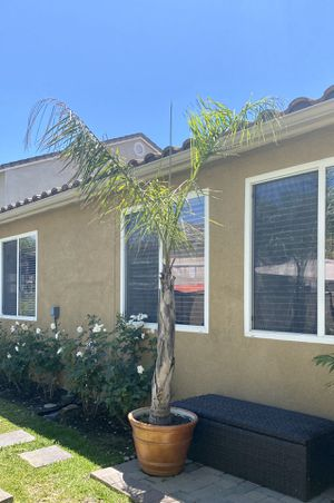 10-12 foot queen palm in container. $25, cheap!!! for Sale in Eastvale, CA