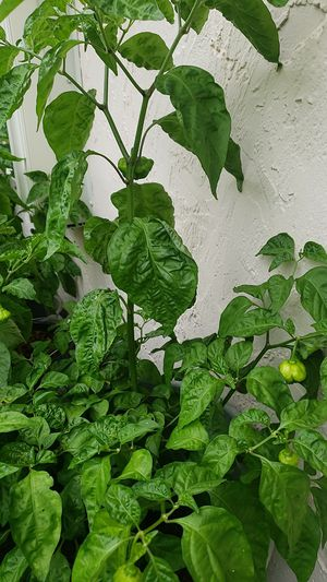 Scotch bonnet pepper tree's for Sale in Fort Lauderdale, FL
