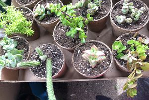 Succulents for Sale in FL, US