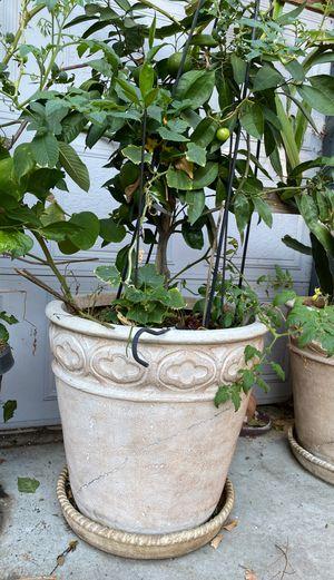 Lemon tree in large pot for Sale in San Jose, CA