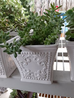 "Succulent plants in a white ceramic vase 6""X 6"" $12 each pot for Sale in Anaheim, CA"