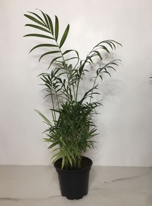 "Neanthe Bella Palm - 4"" pot, 16"" tall - Desktop Plant for Sale in Fort Worth, TX"