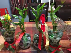 3 pcs. Lucky Bamboo means Happiness good for gift this Christmas! for Sale in Tacoma, WA