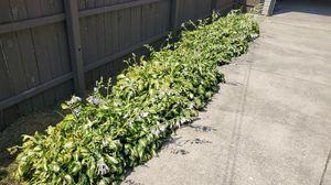 Hosta plants for Sale in Oak Lawn, IL