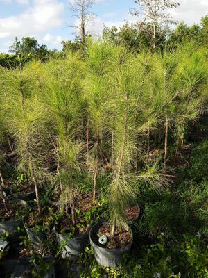 Pine privacy plant for Sale in Indiantown, FL