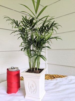 Parlor Palm Plants in Square Ceramic Planter Pot- Real Indoor House Plant for Sale in Auburn, WA