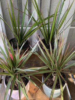 Dracaena Marginata Dragon Trees for $16 with Decor Pot! for Sale in Los Angeles,  CA